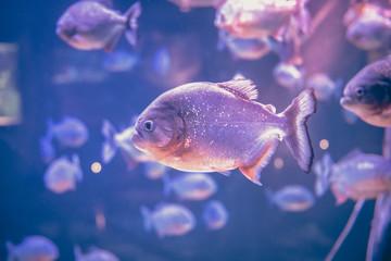 Piranha freshwater fish underwater purple pink background
