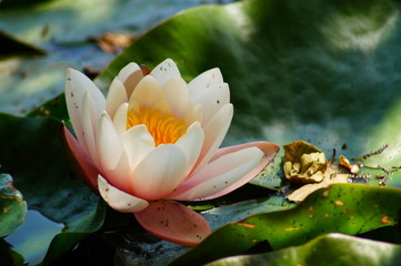 Nymphaea ( water lilies) - waterlily , Aquatic vegetation, water plants