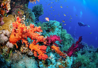 Beautiful coral reef with soft corals and the diver.