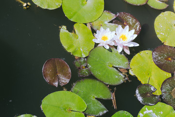 European white water lilies on green water pond