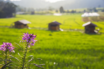 rice field scenery in Thailand