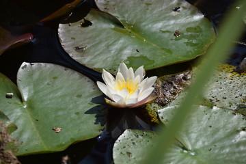 Nénuphar blanc + Fleur blanche