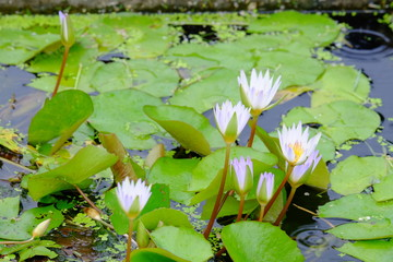 Pink lotus flowers and green leaves in a beautiful pool