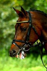 Portrait of a beautiful stallion