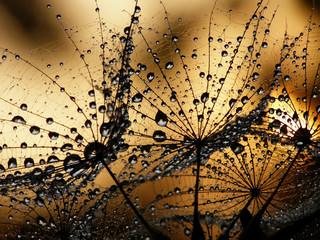 wet dandelion seed