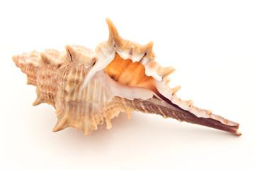 Seashell on white