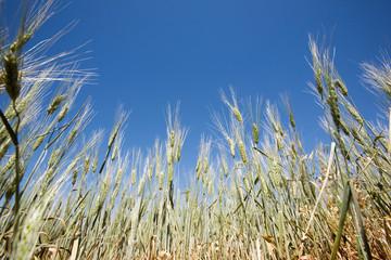 Wheat Detail