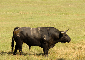 A real black bull of bullfight in field