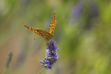 Papillon et lavande