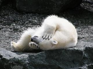 Polar bear having fun