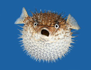 Blow fish frontal view