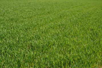 trawa, grass