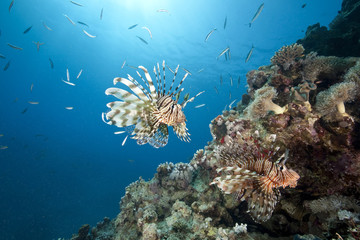 ocean, sun and lionfish