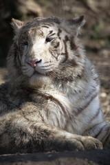 White Bengal Tiger_0497