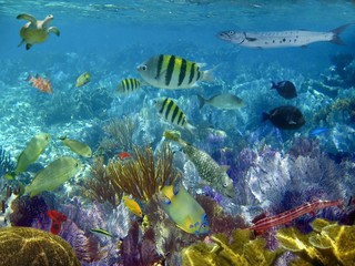 caribbean reef tropical fishes underwater