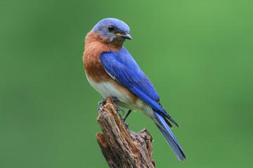 Bluebird Na Pniu