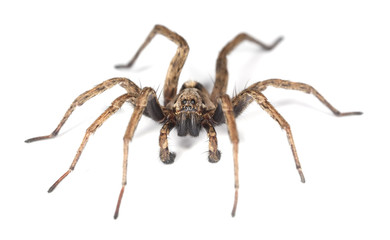 Wolf spider isolated on white background.