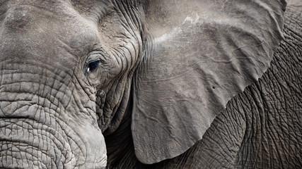 Closeup Elephant face