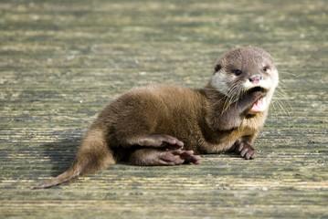 Baby Otter - Yawning