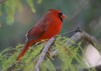 Northern cardinal (Cardinalis cardinalis) in pine forest