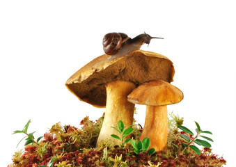 two boletus edulis and snail