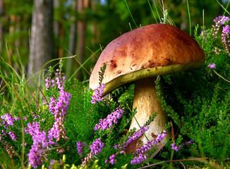 edible mushroom - cep with flowering Heather
