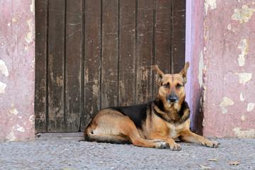 Stray street dog