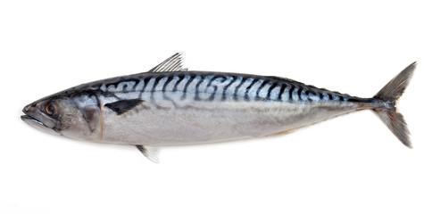 Makrela na białym tle