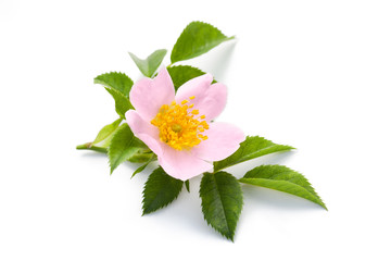 Blossom of wild rose isolated on white