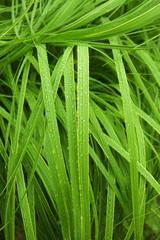 trawa po deszczu