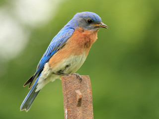 Male Eastern Bluebird (Sialia sialis) - Ontario, Canada