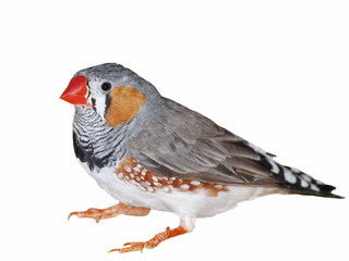Zebra Finch isolated on white, Taeniopygia guttata
