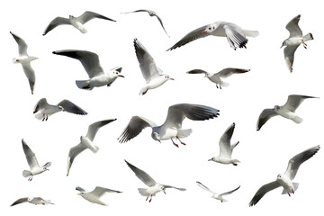 set of white flying birds isolated. gulls