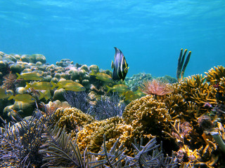 Colorful coral reef with tropical fish in the Caribbean sea