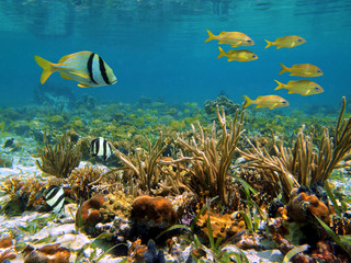 Underwater marine life in a shallow coral reef of the Caribbean sea