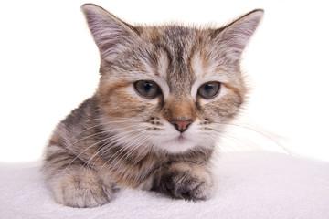 cat kitten white little nice pet