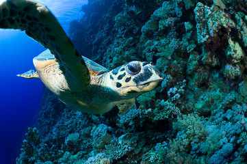 Face to face with hawksbill sea turtle.