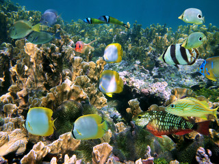 School of colorful tropical fish on a coral reef of the Caribbean sea, Belize