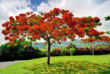 Flamboyant en fleur en été, La Réunion.