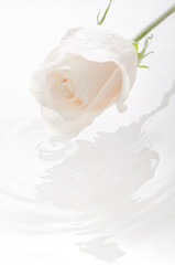 Isolated white rose with water drop creating ripples on water