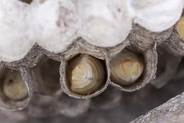 Common wasp, Vespula vulgaris larva in wasp nest cell,