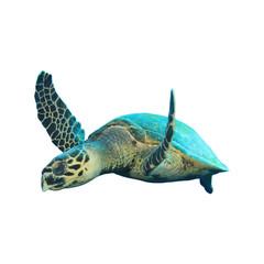 Hawksbill Sea Turtles isolated on white