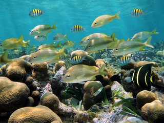 School of tropical fish in a shallow coral reef of the Caribbean sea