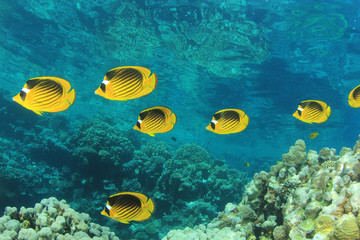 Coral Reef Scene with Butterflyfish