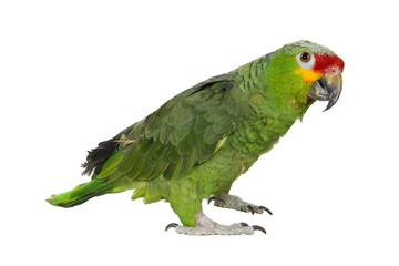 Perroquet 2
