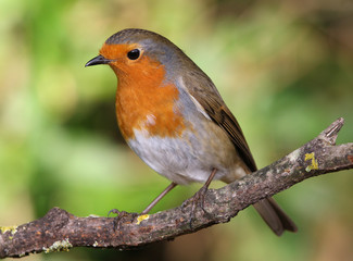 Close up of a Robin perched on a branch