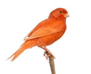 Red canary Serinus canaria, perched on a branch