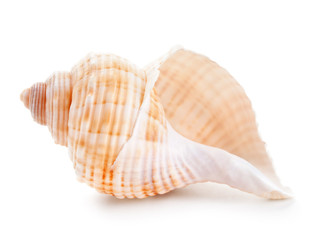 Seashell in close-up isolated on a white