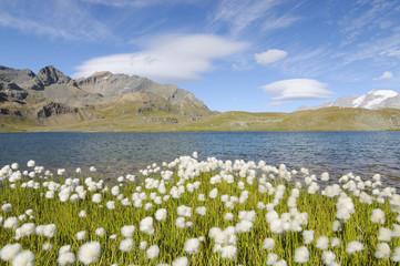 Eriophorum - Park Narodowy Gran Paradiso - jezioro Rosset