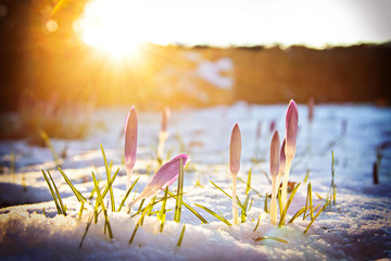 Krokusse im Schnee unter abendlichem Frühlingslicht